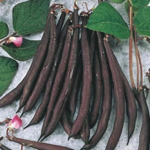 Purple Pole Beans