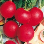 German Giant Parat Radish