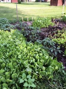 Vegetable Garden in Full Bloom